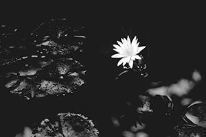water-lily-1015215_1280-thumb.jpg